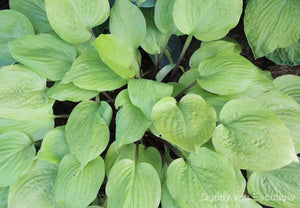 Hosta 'Flemish Design'