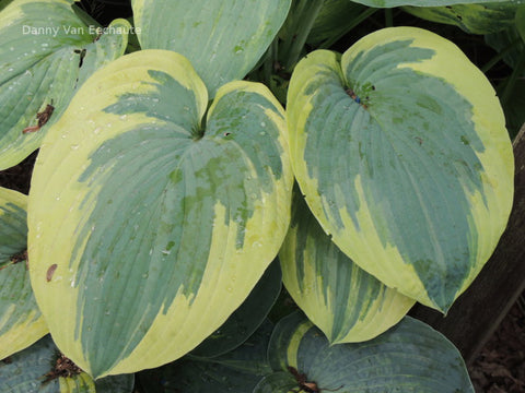 Hosta 'Flemish Tradition'