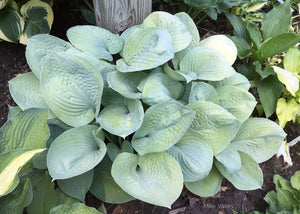 Hosta 'Foxfire Irish Moon'