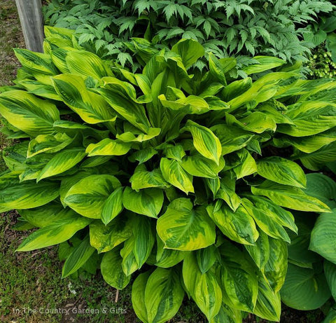 Hosta 'Foxfire Palm Sunday'