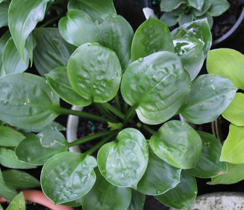 Hosta 'Fruit Cup'