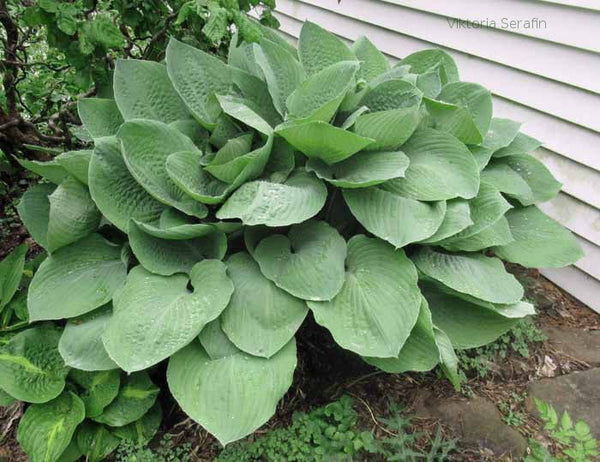 Hosta 'Glen Luminaria' early spring