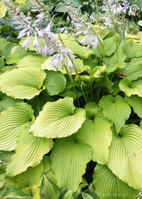 Hosta 'Golden Falls'