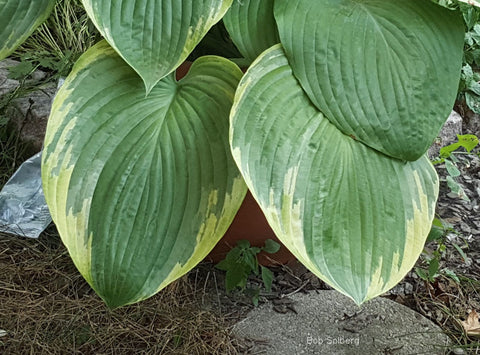 Hosta 'Great White Whale'