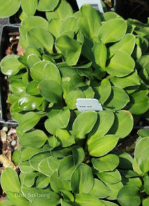 Hosta 'Green Thumb'