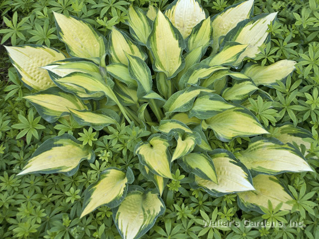 Hosta 'Happy Dayz'