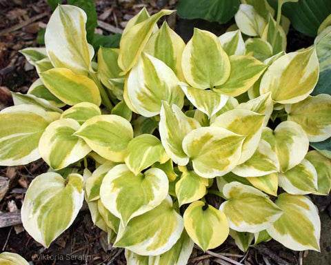 Hosta 'Heavenly Tiara'