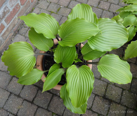 Hosta 'Holar Black Swan'
