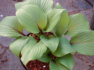 Hosta 'Holar Crimson Grape'