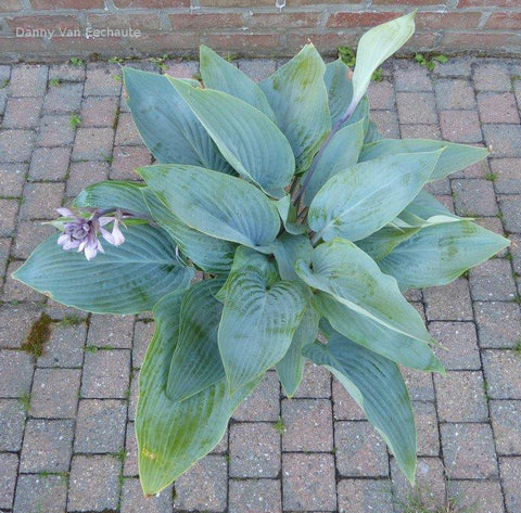 Hosta 'Holar Ice Empress'