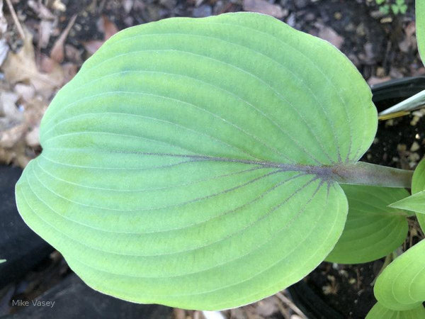 Hosta 'Holar Mystic Purple'