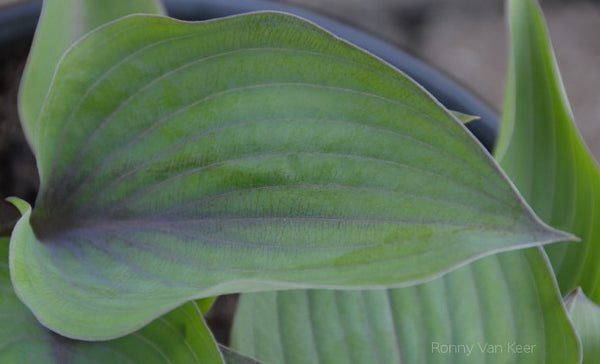 Hosta 'Holar Purple Flash'