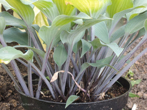 Hosta 'Holar Purple Glacier'