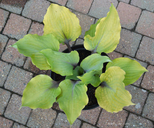 Hosta 'Holar Rising Flame'