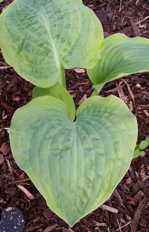 Hosta 'Honey Bear'