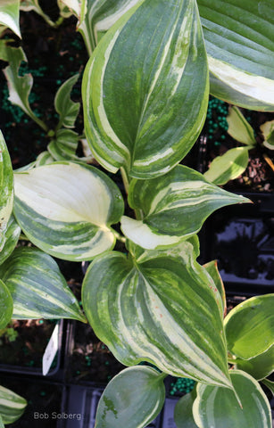 Hosta 'How about That!'