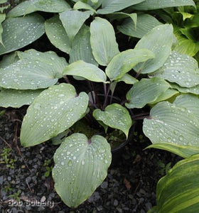 Hosta 'Infatuation'