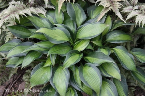 Hosta 'June Spirit'