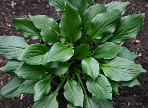 Hosta 'Lakeside Storm Watch'
