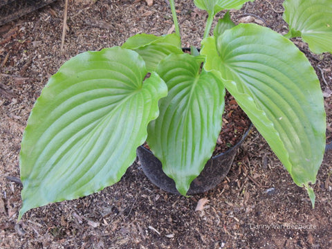 Hosta 'Leather Gloss'