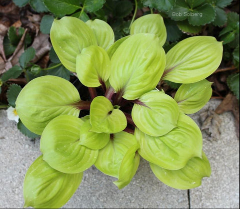 Hosta 'Lemon Kiss'