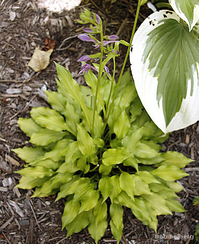Hosta 'Lemon Love Note'