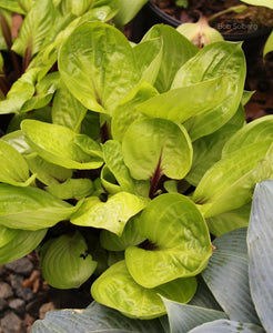 Hosta 'Lemon Snap'