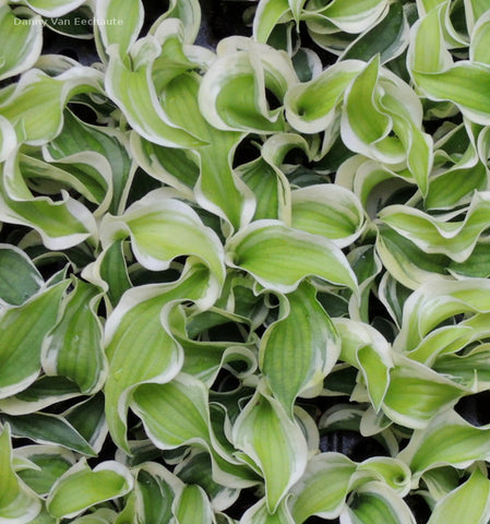 Hosta 'Let's Twist Again'