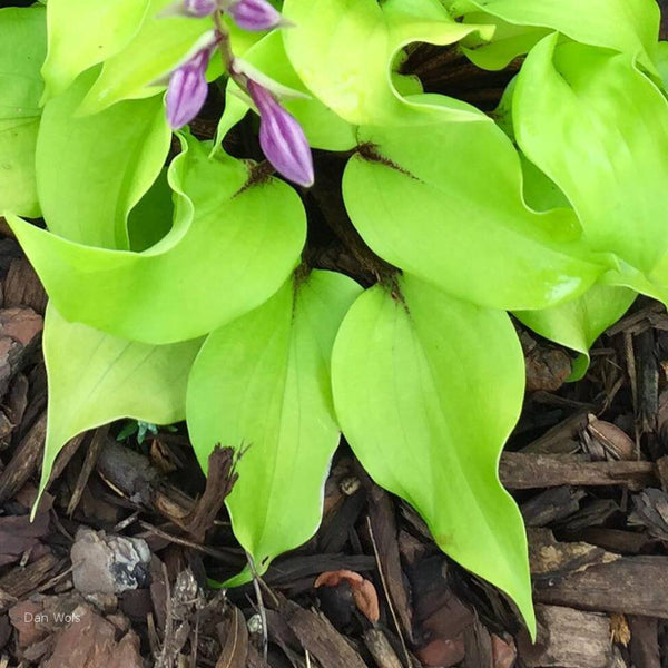 Hosta 'Li'l Smooch'