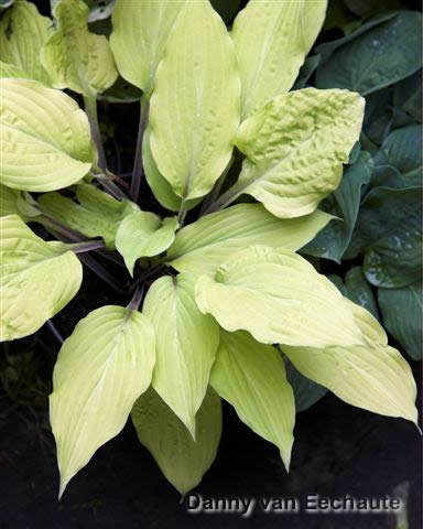 Hosta 'Lipstick Blonde'
