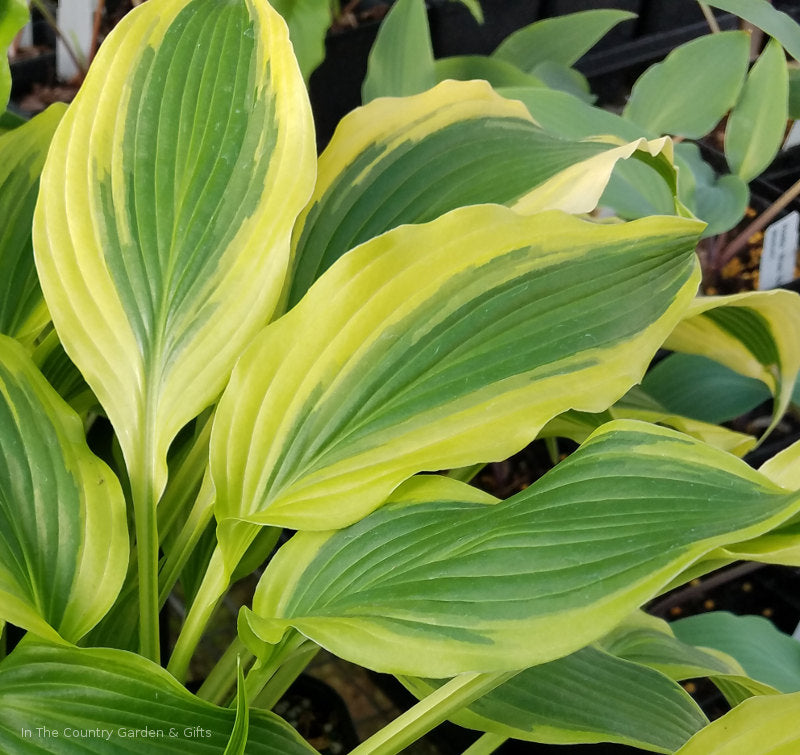 Hosta 'Long Tail Lights'