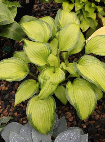 Hosta 'Love of My Life'