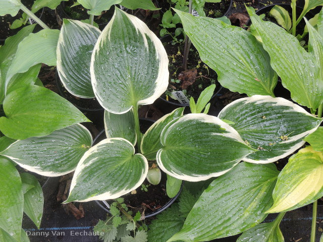 Hosta 'Lucky Number'