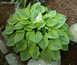 Hosta 'Luna Moth'