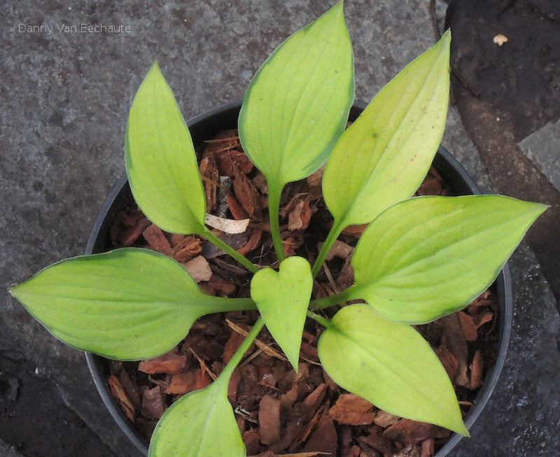 Hosta 'Made in Spades'