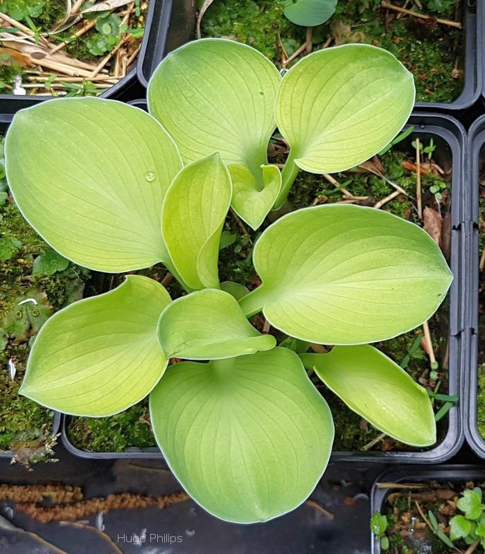 Hosta 'Magical Mouse Ears'