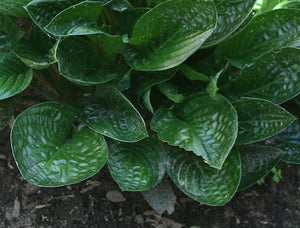 Hosta 'Midnight Oil'