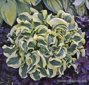 Hosta 'Mini Skirt'