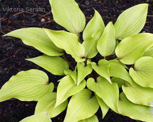 Hosta 'Miss Ruby'