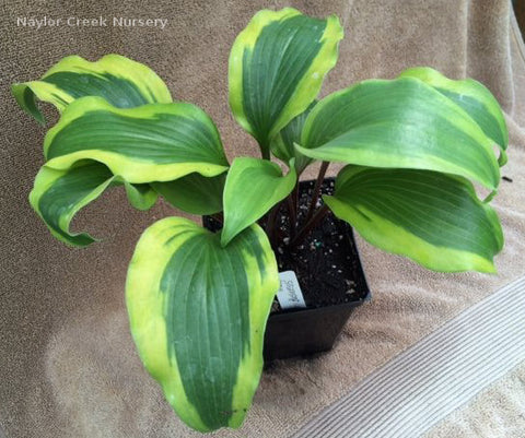 Hosta 'Monkey Business'