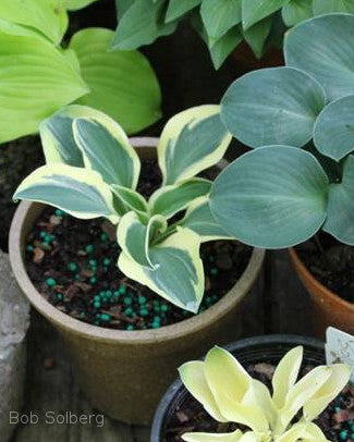 Hosta 'Mouse Madness'