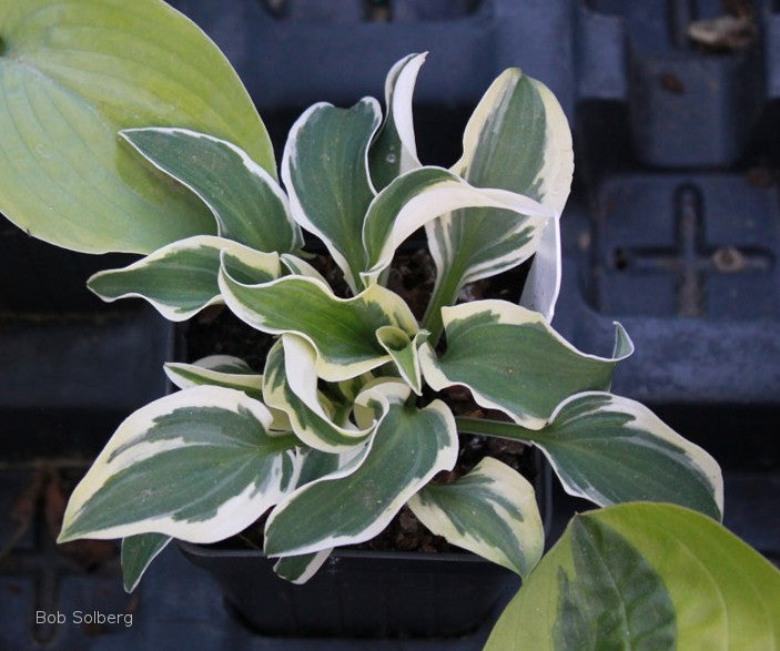 Hosta 'Mouse on the Moon'