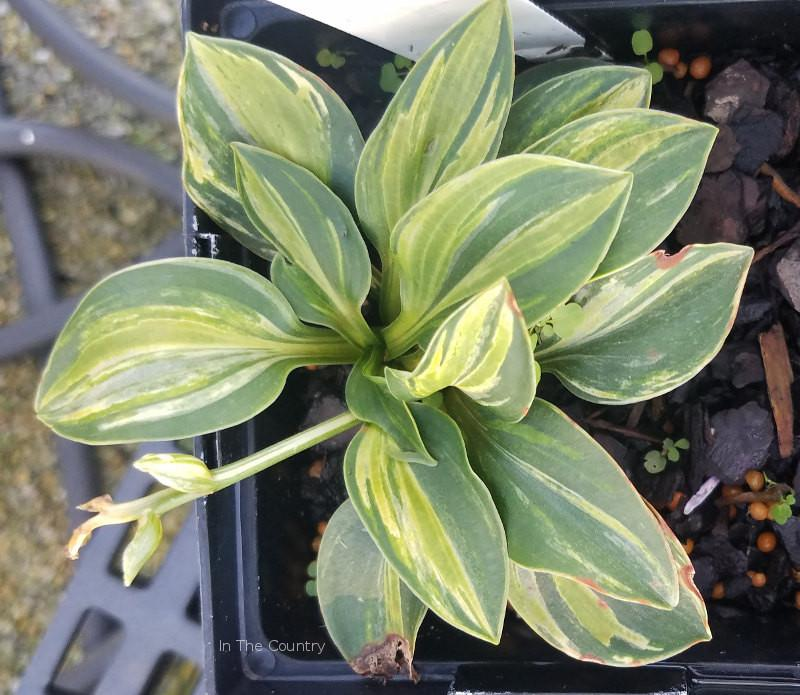 Hosta 'Mouse Party'