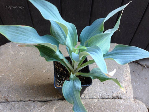 Hosta 'Movin on Up'
