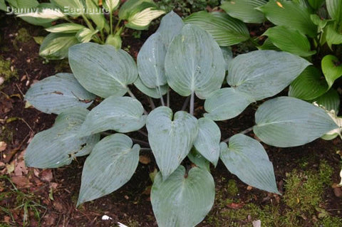 Hosta 'Mr. Blue'