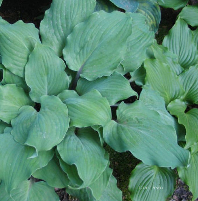 Hosta 'Night Flight'