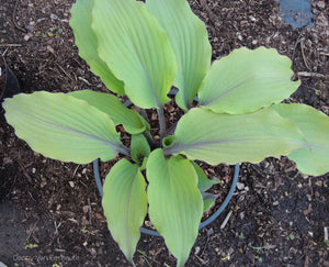 Hosta 'Number Nine'