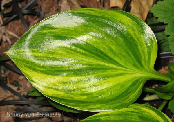 Hosta 'Oil Paint'