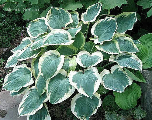 Hosta 'Orion's Belt'