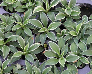 Hosta 'Pierced Mouse Ears'